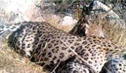 Leoparların Kökünü Mantonolu Hasan Kurutmuş