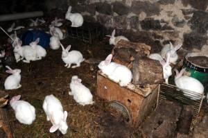 100'den Fazla Tavşanı Var