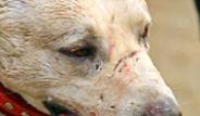 Afganistan'da Geleneksel Olarak Yapılan Köpek Kapışmaları