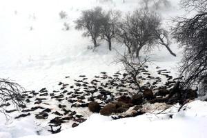 Şırnak'ta Çadır Barınaklar Kardan Çöktü: 1500 Kuzu ve Koyun Telef Oldu
