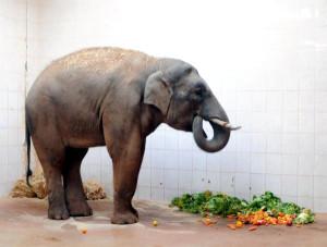 Gaziantep'teki Fillere, Sri Lanka'dan 'Gelin' Geliyor
