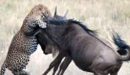 Antilop, Yavrusu İçin Kendisini Feda Etti