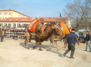 Karaağaç'ta Deve Güreşleri Heyecanı