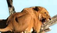 Aslan Korkudan Ağaca Çıktı