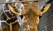 Zürafa 'Marius' Aslanlara Yem Oldu