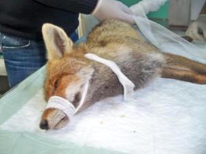 Yaralı Tilki ile Keklikler Koruma Altına Alındı