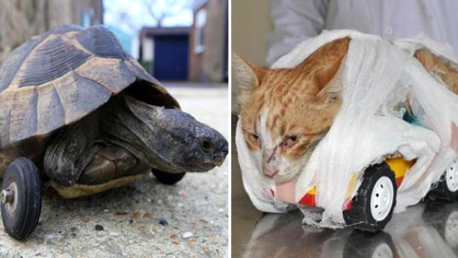 Kaplumbağaya Tekerlek Bağladılar