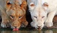 Albino Hastalığına Yakalanan Hayvanlar