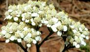 Mucize Bitki Civanperçeminin Faydaları