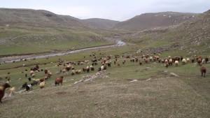 Koyunlar 6 Ay Sonra Meralara Çıktı -