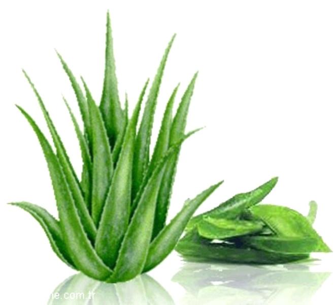 1. Aloe Vera: Toplum arasında en çok bilinen ve kullanımına en çok rastlanılan bitki olan aloe vera, güneş veya kazalar sonucu oluşan yanıkların tedavisinde tercih ediliyor.