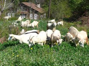 Saanen Keçiler Umut Veriyor