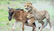 Yeni Doğan Antilop Çitalara Yem Oldu