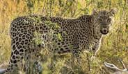 Leopar Ceylanı Ağacın Tepesinde Yedi