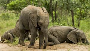 Güney Afrika'daki Sarhoş Hayvanlar