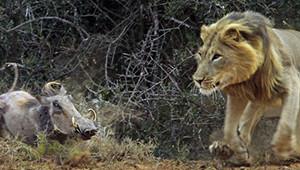 Aslan, Afrika Domuzuna Saldırdı