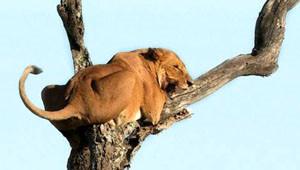 Aslan Korkudan Ağaca Tırmandı