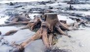 Denizin Altından 5 Bin Yıllık Orman Çıktı