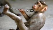 Taylandlılar Maymunları Köle Olarak Kullanıyor