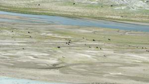 Altınkaya Barajı'nda Şimdi Hayvanlar Otluyor
