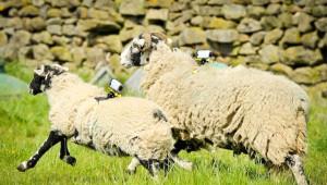 Sony, Fransa Bisiklet Turu'nu Koyunlarla Kameraya Alacak