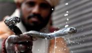 Hindistan'da Yılanların Sütle Yıkandığı İlginç Gelenek