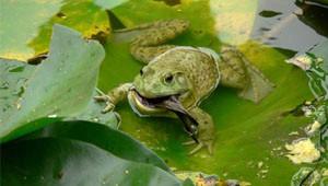 Kurbağa Serçeyi Tek Hamlede Yedi