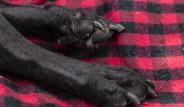 Kanser Teşhisi Konulan Bir Köpeğin Son Günleri