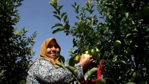 Geyve'de Elma Hasadı Başladı