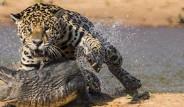 Jaguar, Timsahı Tek Hamlede Yedi