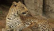 Hindistan'da Leoparlar Köpekleri Yiyor