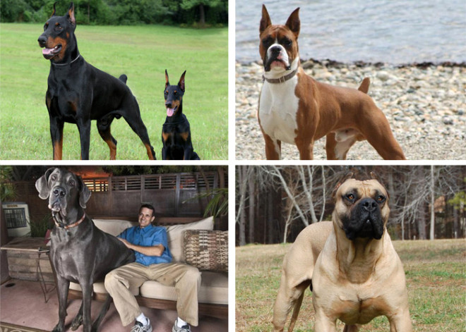 Dünyanın En Tehlikeli 15 Köpeği Foto Galerisi