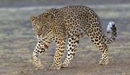 Leoparın Avıyla Mücadelesi Böyle Görüntülendi