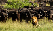 Bizonların Saldırısına Uğrayan Aslan Canından Oldu