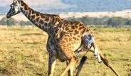 Kenya'da Zürafanın Doğum Anı Görüntülendi