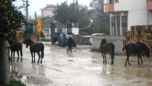 Geyve'nin Cadde ve Sokaklarında Başıbos Atlar