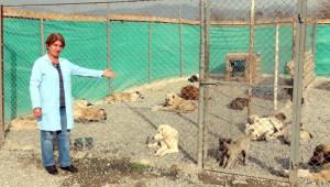 Pülümür'de Toplanan Sokak Köpekleri Erzincan'da Kısırlaştırılıyor