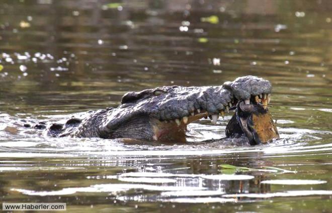 Timsahın Kaplumbağayla Mücadelesi Böyle Görüntülendi