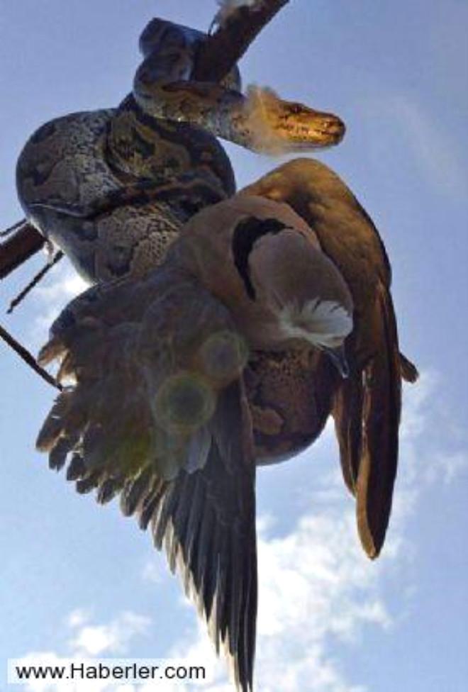 Dev Piton Güvercini Böyle Avladı