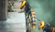 30 Japon Eşek Arısı 30 Bin Bal Arısını Katletti