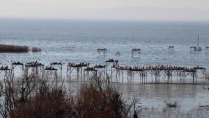 Kış Güneşinde Pelikanlar