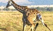 Zürafanın Doğum Anı Saniye Saniye Görüntülendi