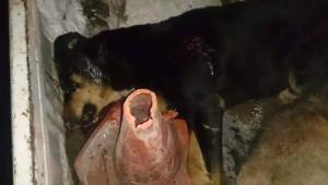 Kuduz Olduğu Düşünülen İki Köpek Vurularak Öldürüldü