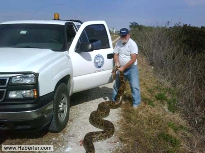 Dev Pitonlar Florida'nın Kabusu Oldu
