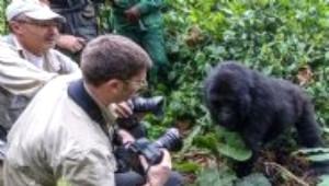 Sarhoş Goril Fotoğrafçının Üstüne Atladı