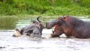Su Aygırı, Antilop ve Timsahın Dehşet Mücadelesi