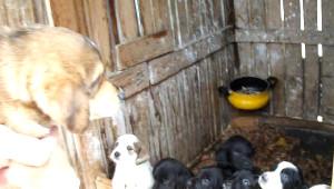 Donmak Üzereyken Bulduğu Köpek 11 Yavru Doğurdu