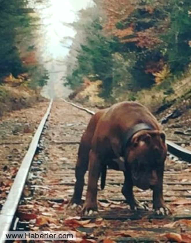 79 Kilo Ağırlığında Dünyanın En Büyük Pitbullu