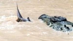 Timsahla Köpekbalığının Nefes Kesen Mücadelesi