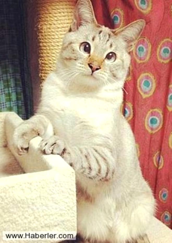 Görenleri Gülme Krizine Sokan Şaşı Kediler